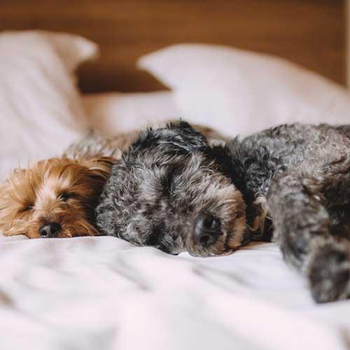 sleepy_dogs_square