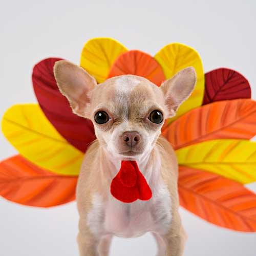 thanksgiving_dog_square