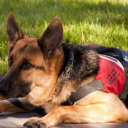 2018-05-08_Service Dog_german-shepherd 500x500